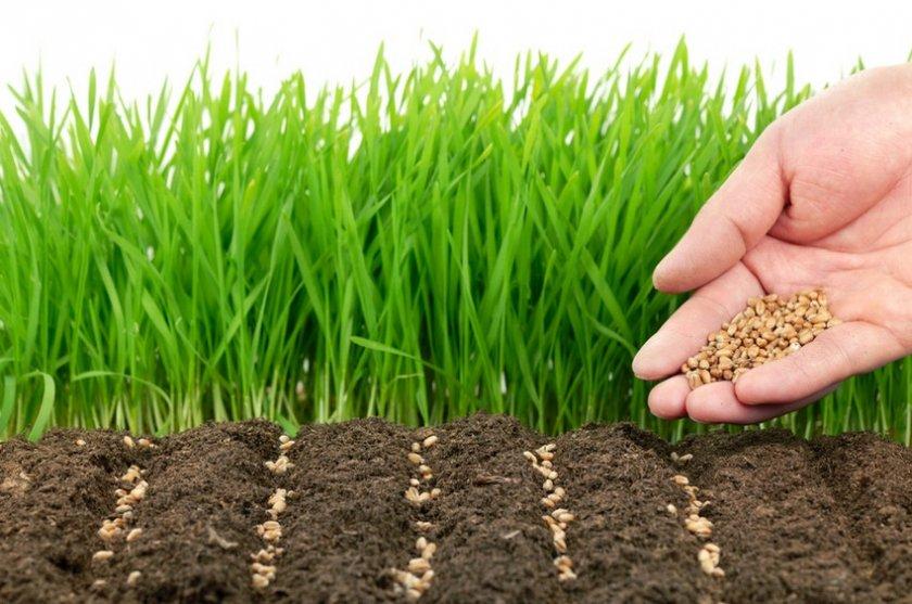 Сроки посева пшеницы в разных регионах