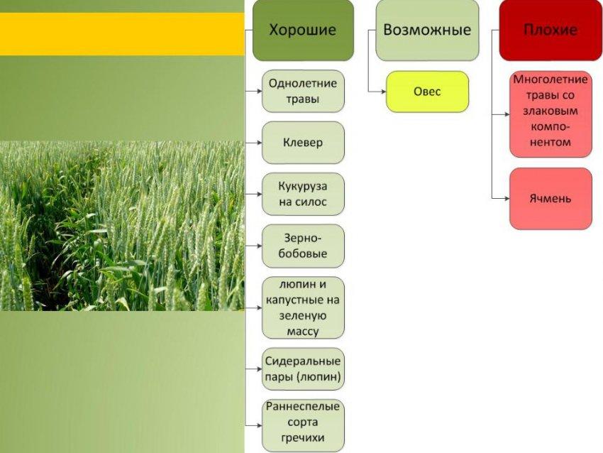 Предшественники пшеницы