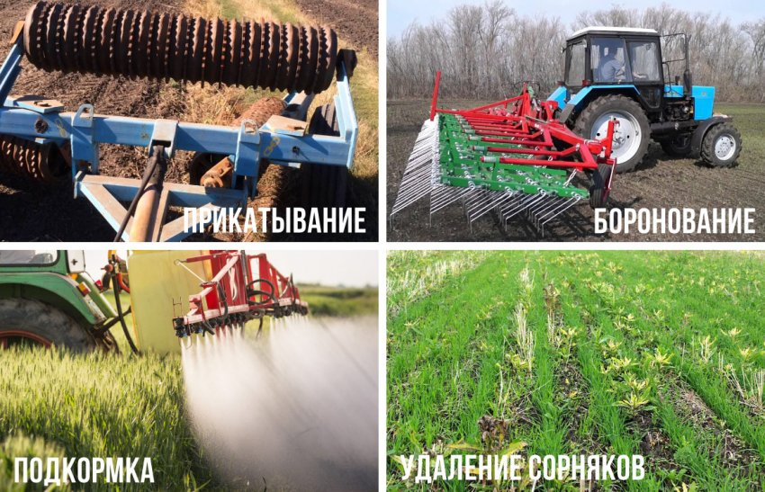 Уход за посадками пшеницы