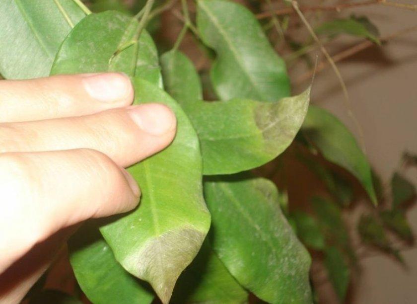 Антракноз на листьях фикуса