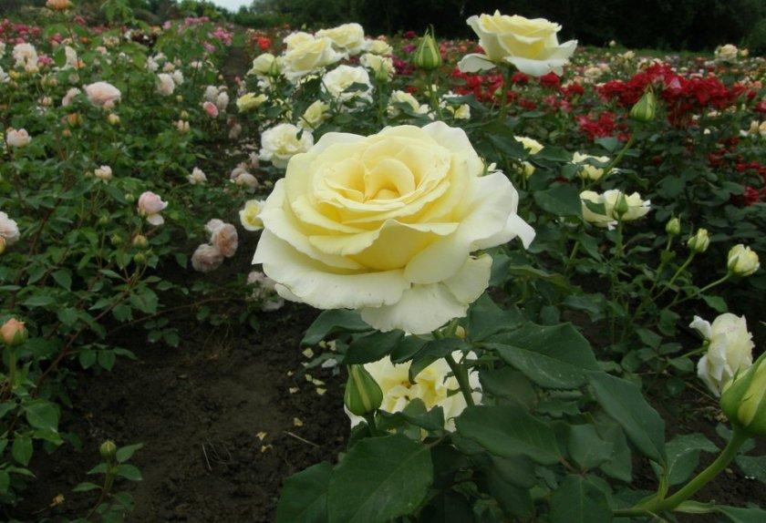 Роза Elina