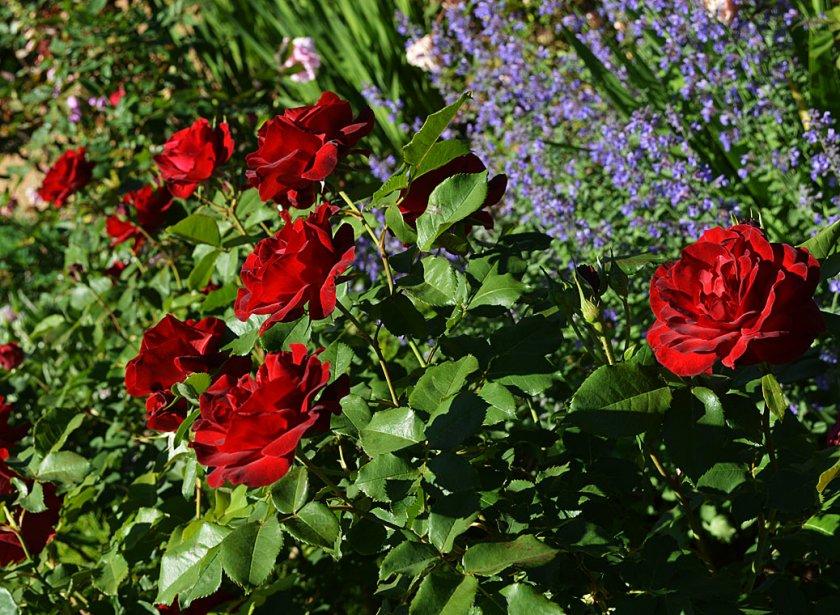 Розы Dame de Coeur