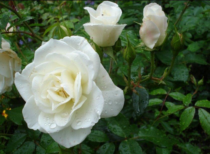 Роза Virgo