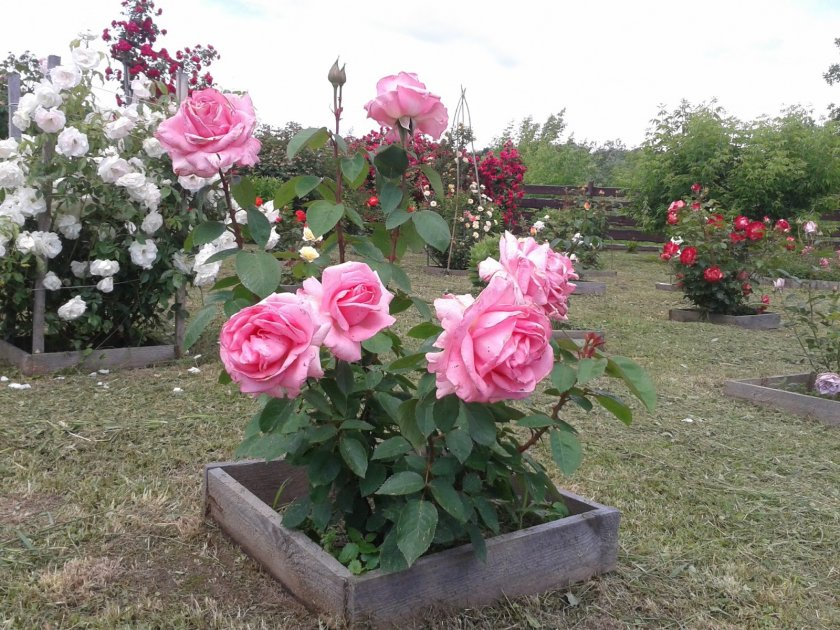 Розы Bel Ange