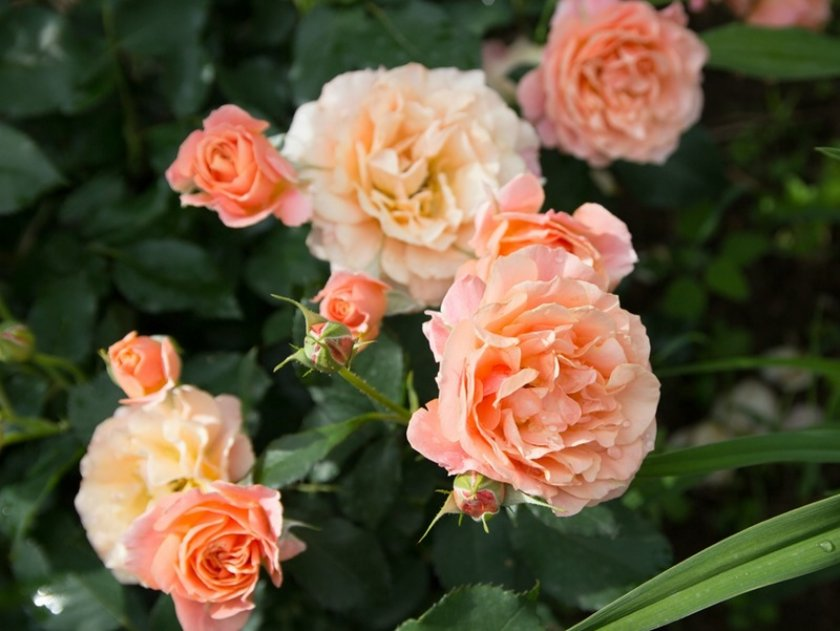 Розы Bordure abricot