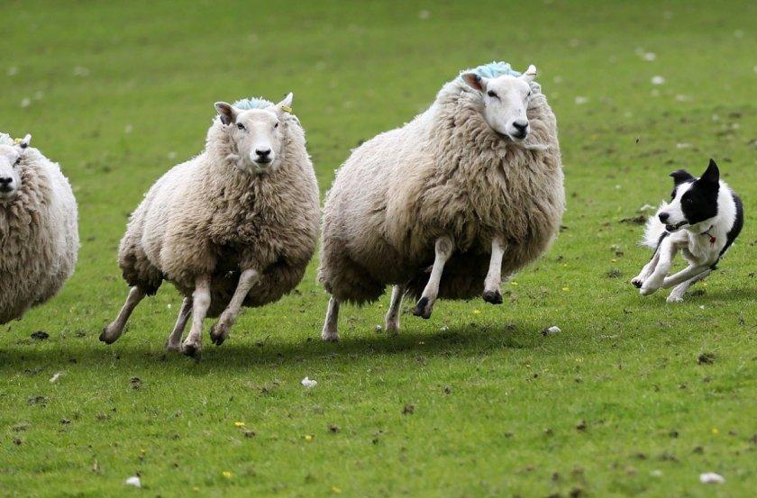 Ирландский фермер спал в поле после гибели овец