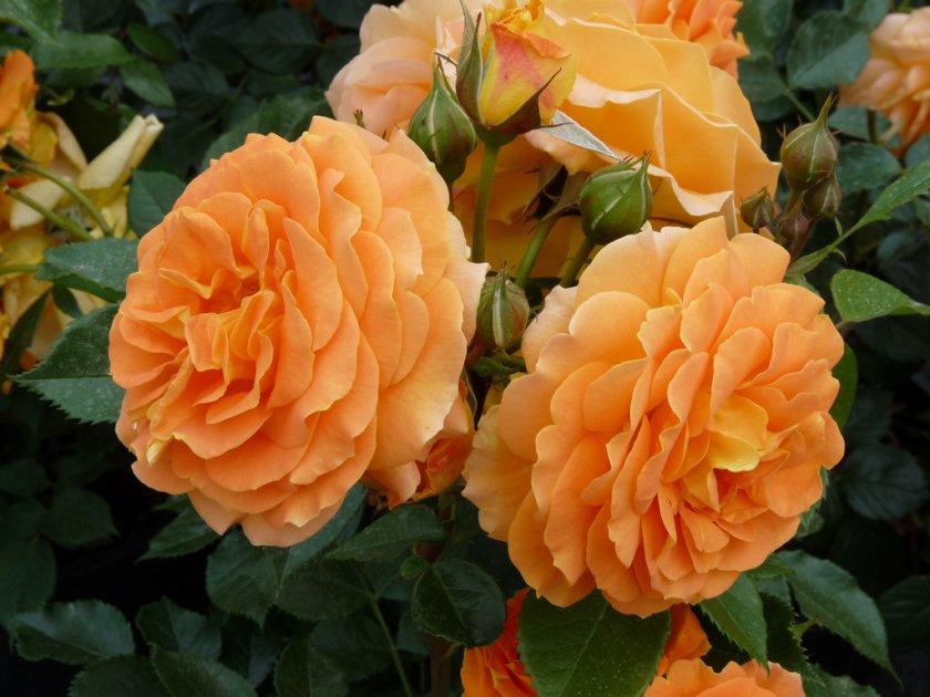 Розы Goldelse