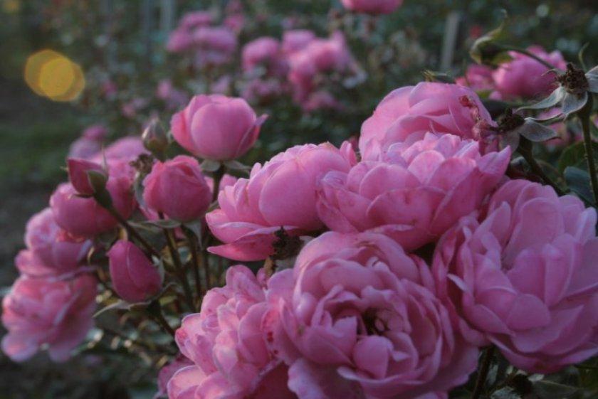 Роза Morena 2002