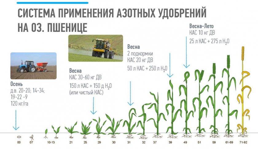Схема внесения азотных удобрения для озимой пшеницы