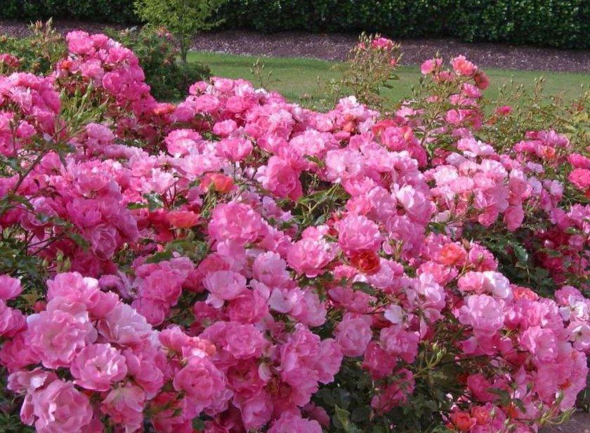 Розы Maxivita