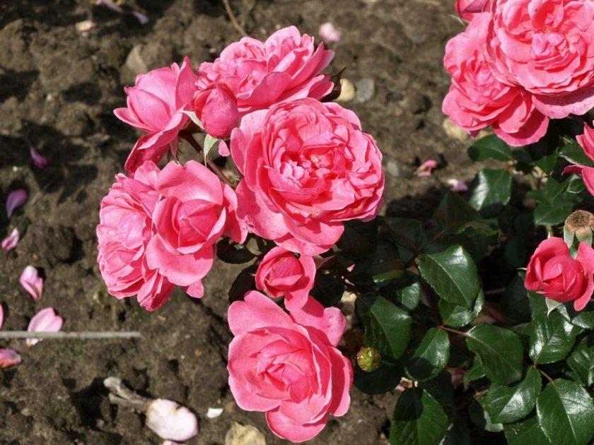 Роза Berleburg
