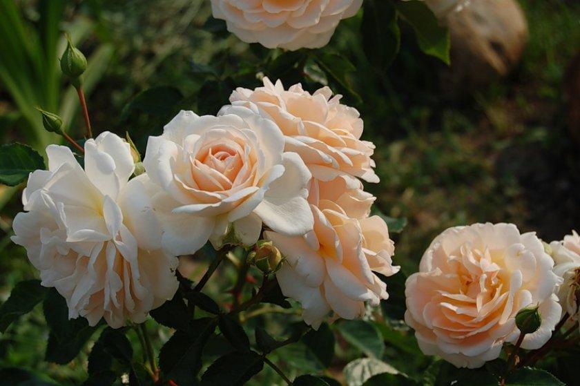 Розы Isarperle