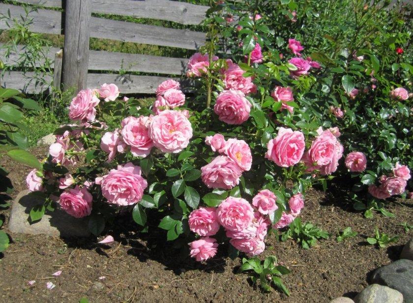 Розы Rosenfee