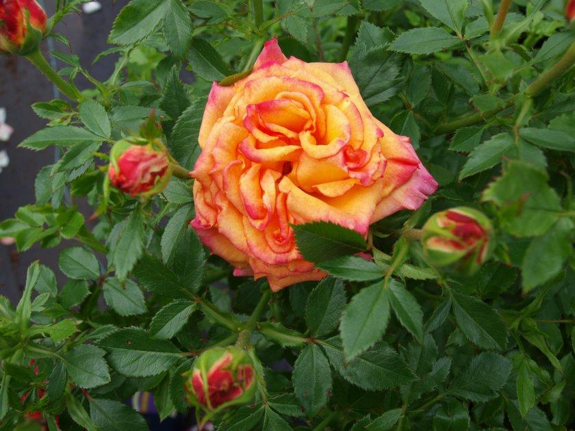 Роза Tequila