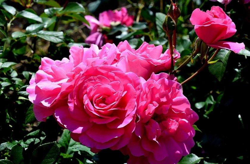 Роза Deborah