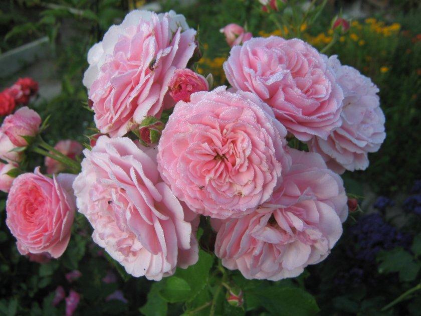Роза Saremo