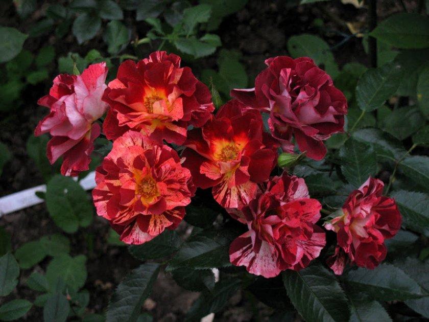 Розы Summer Lodge