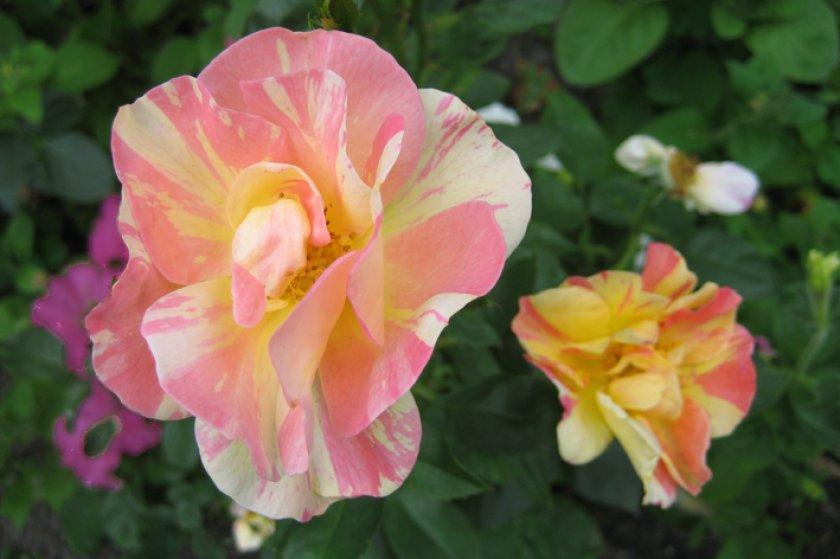 Розы Sorbet Peche Abrico