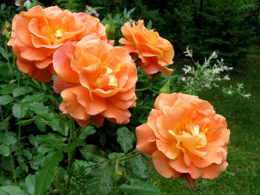 Розы Westerland