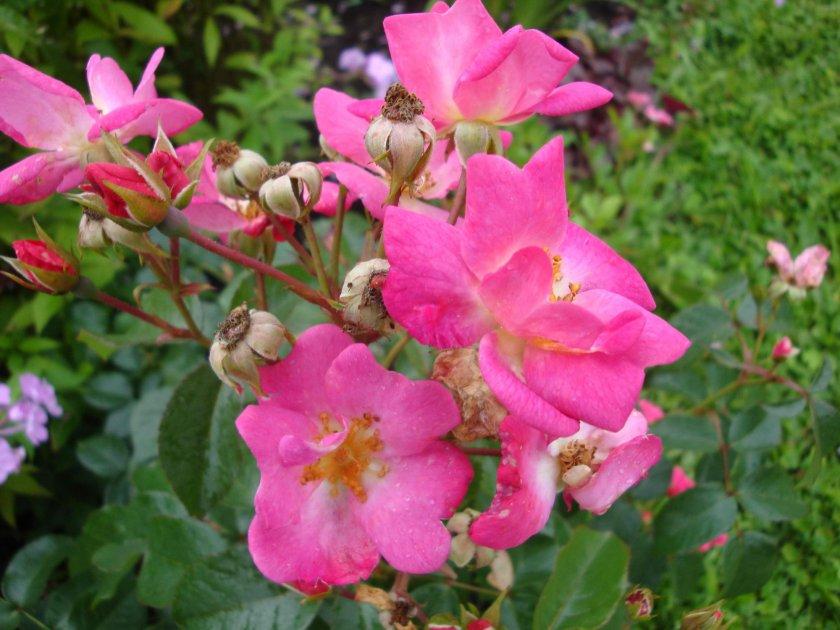 Роза Siesta