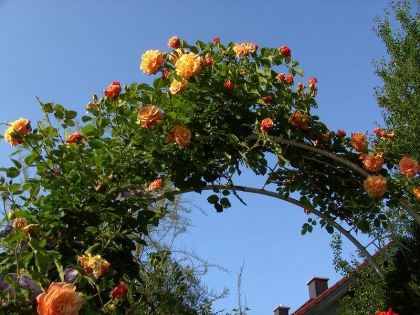 Розы Aloha