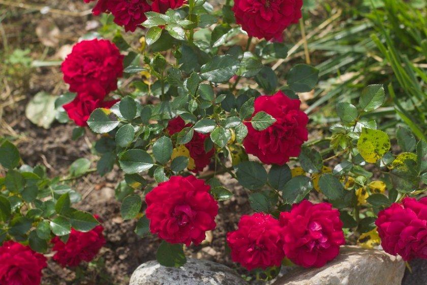 Роза Belcanto