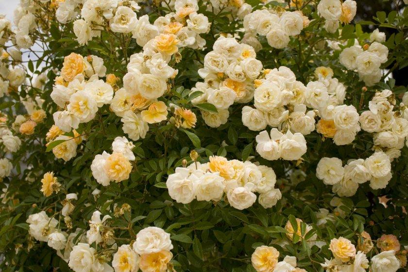 Розы Ghislaine de Feligonde