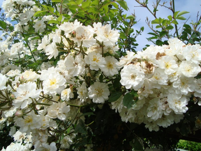 Розы Guirlande
