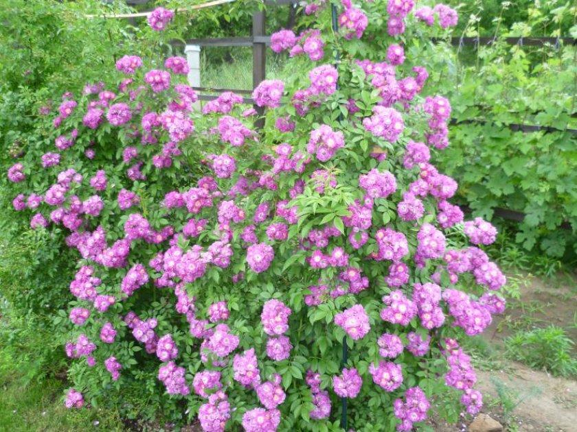 Розы Perennial Blue