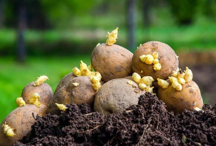 Яровизация картофеля: что это такое и зачем она нужна