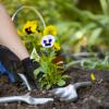 Барвинок посадка и уход в открытом грунте агротехника выращивания