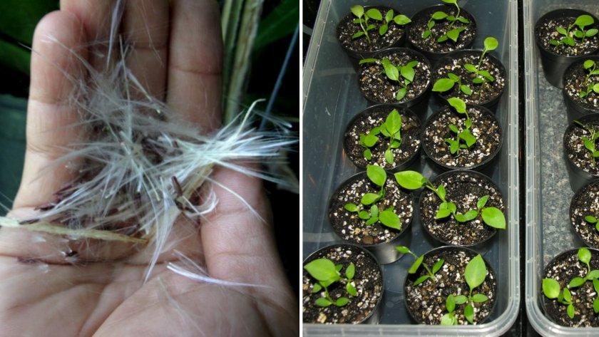 Выраивание хойи из семян