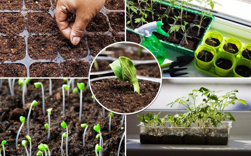 Посадка растений на рассаду