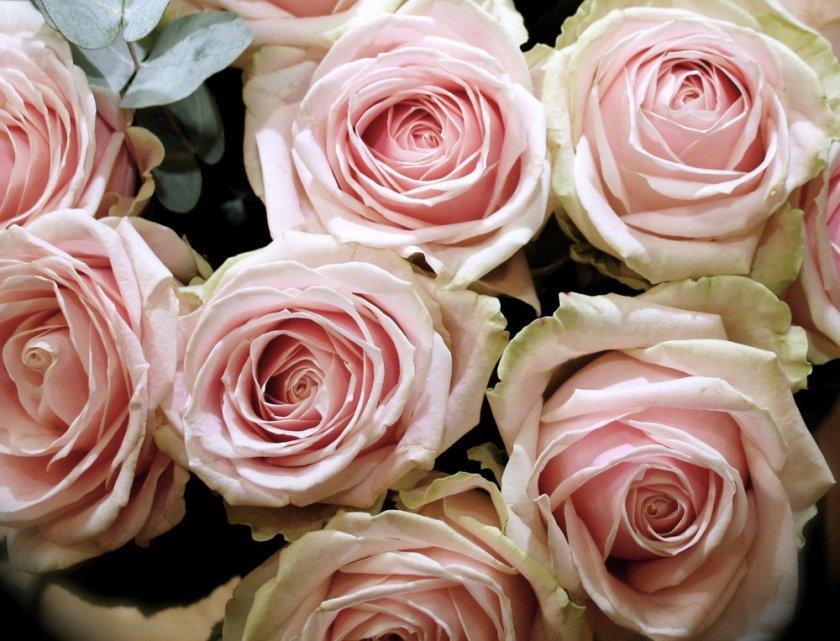 Роза сорта Свит Аваланж