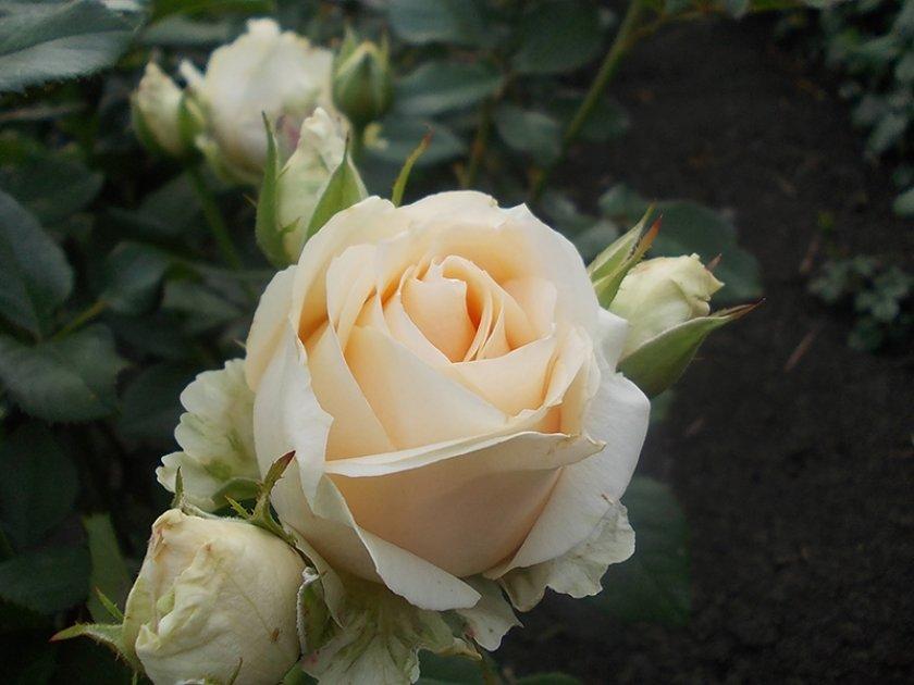 Уход за розами Аваланж