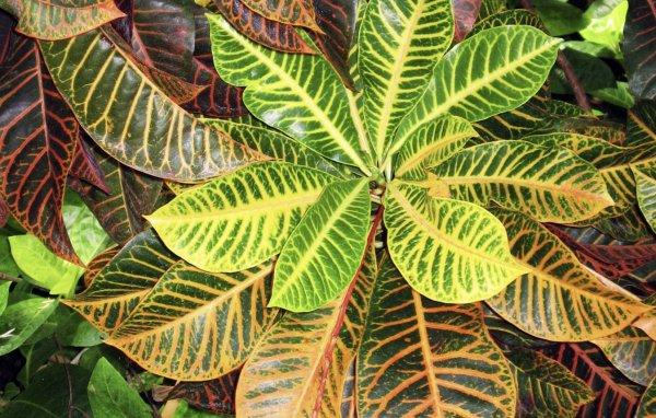 Кротон (кодиеум) - выращивание и уход в домашних условиях