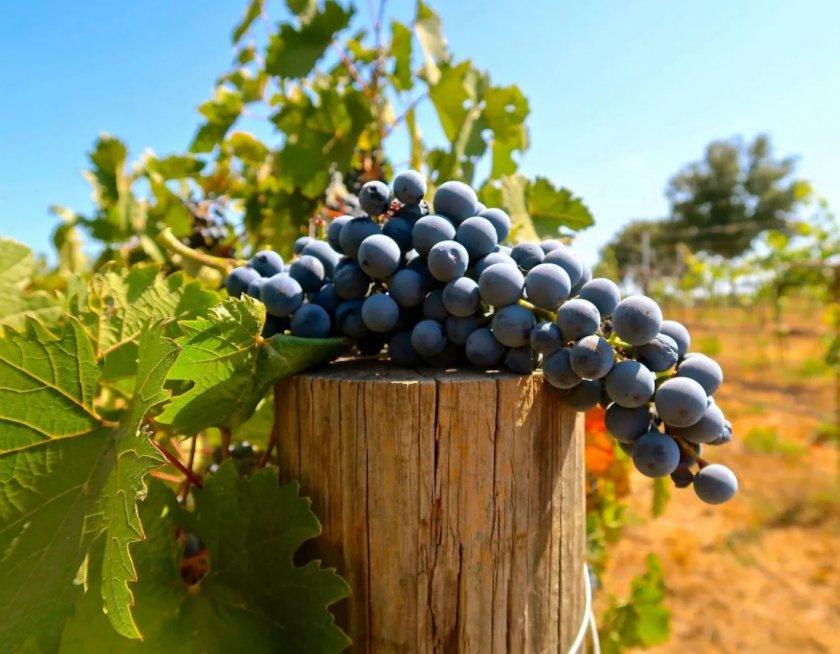 Глобальное потепление помогает шведским виноделам добиться успеха
