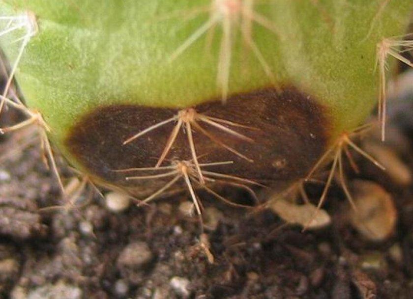 Фитофтороз кактуса