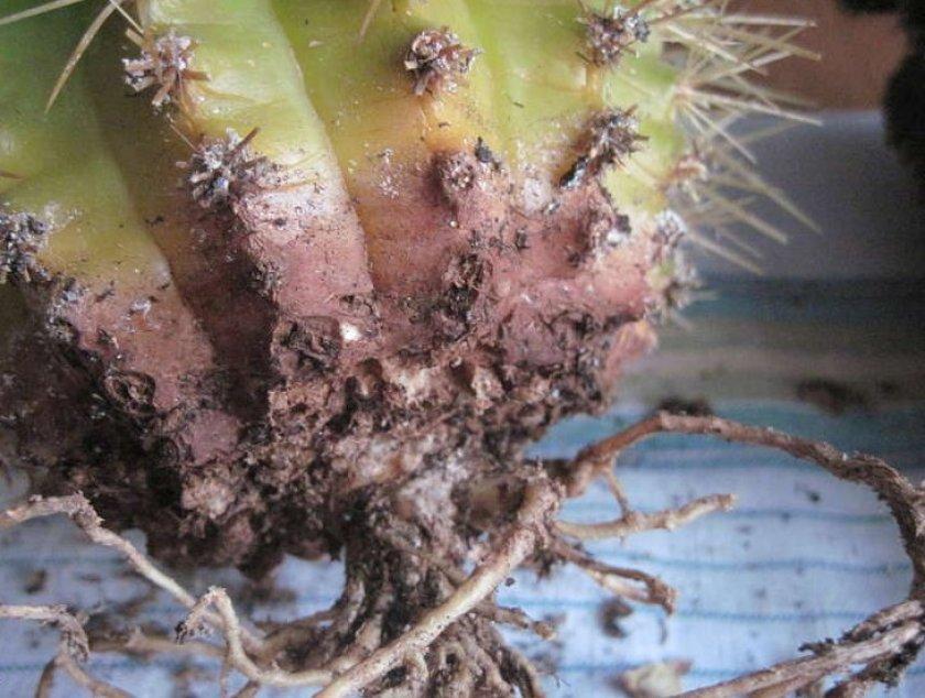 Корневая гниль у кактуса
