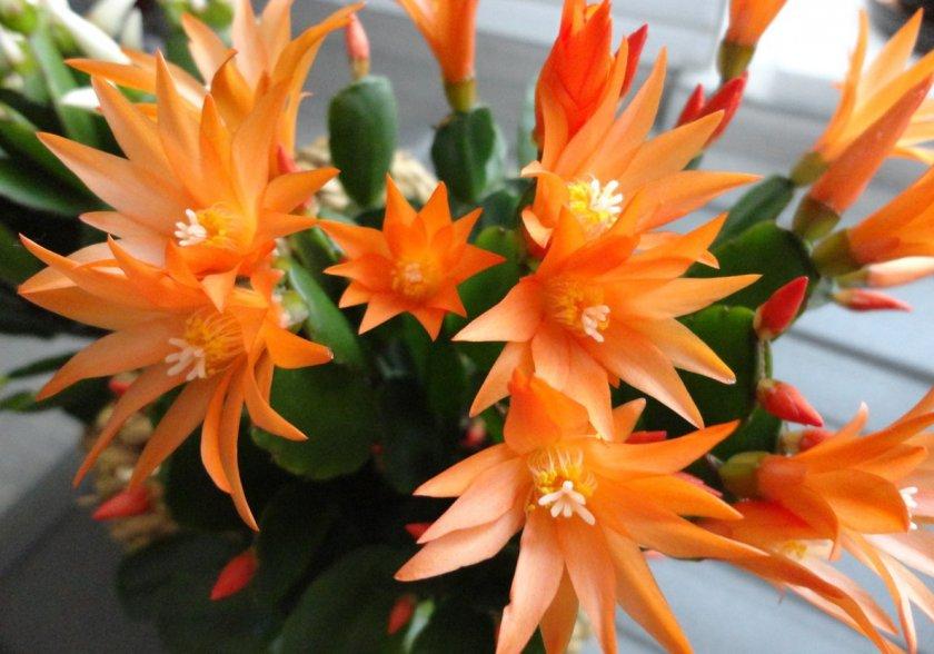 Ауриго оранжевый