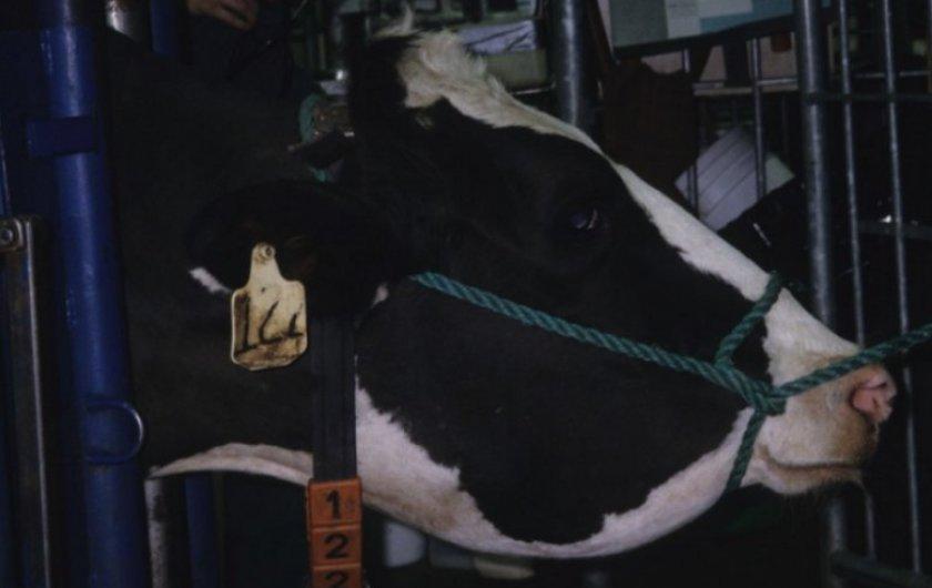Актиномикоз у коровы