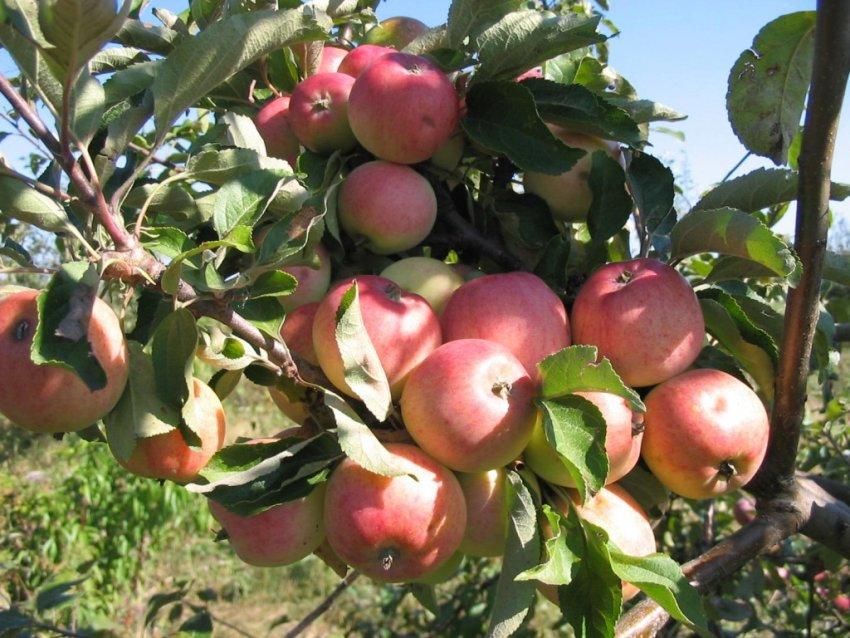Сорт яблони «Грушовка московская»