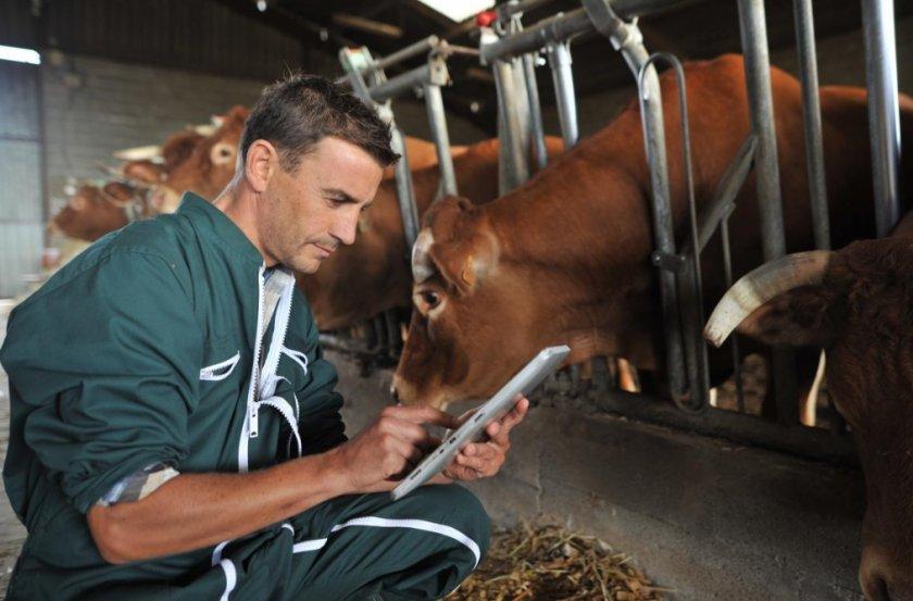 Коровы и ветеринар