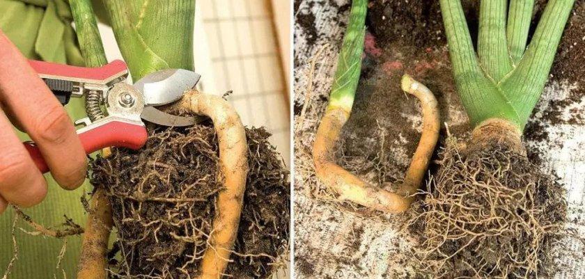 Размножение делением корневищ