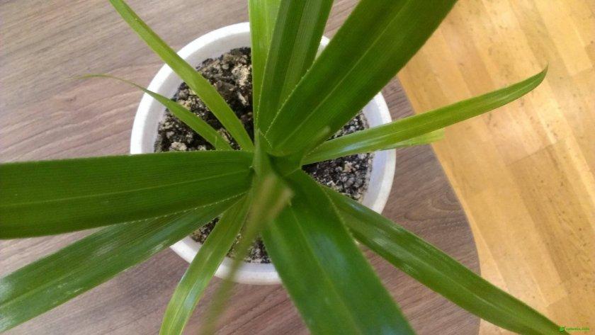 Винтовая пальма пандандус