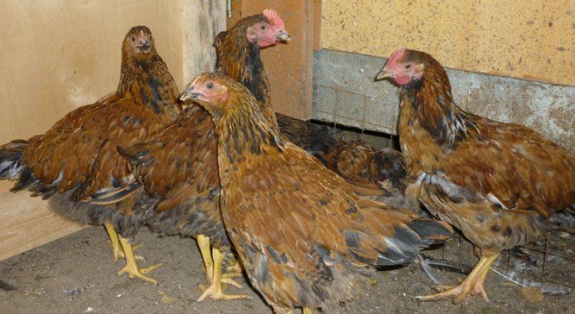 Кучинская юбилейная порода кур