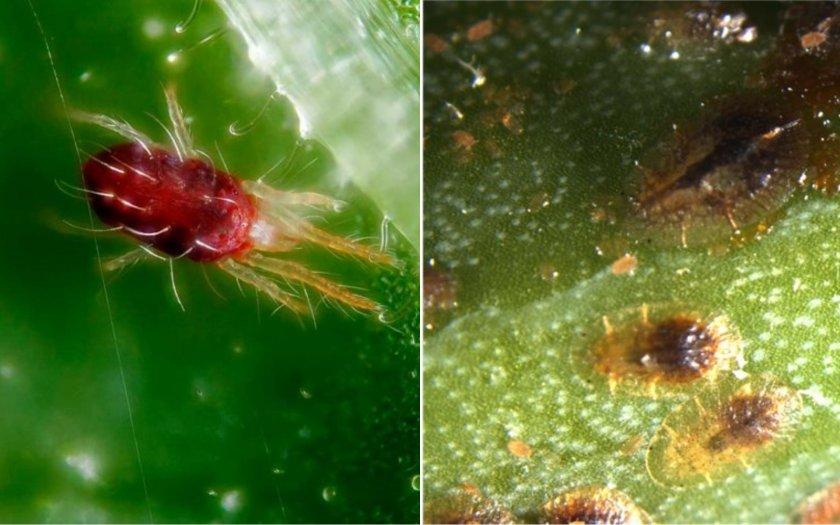 Красный паутинный клещ и щитовка