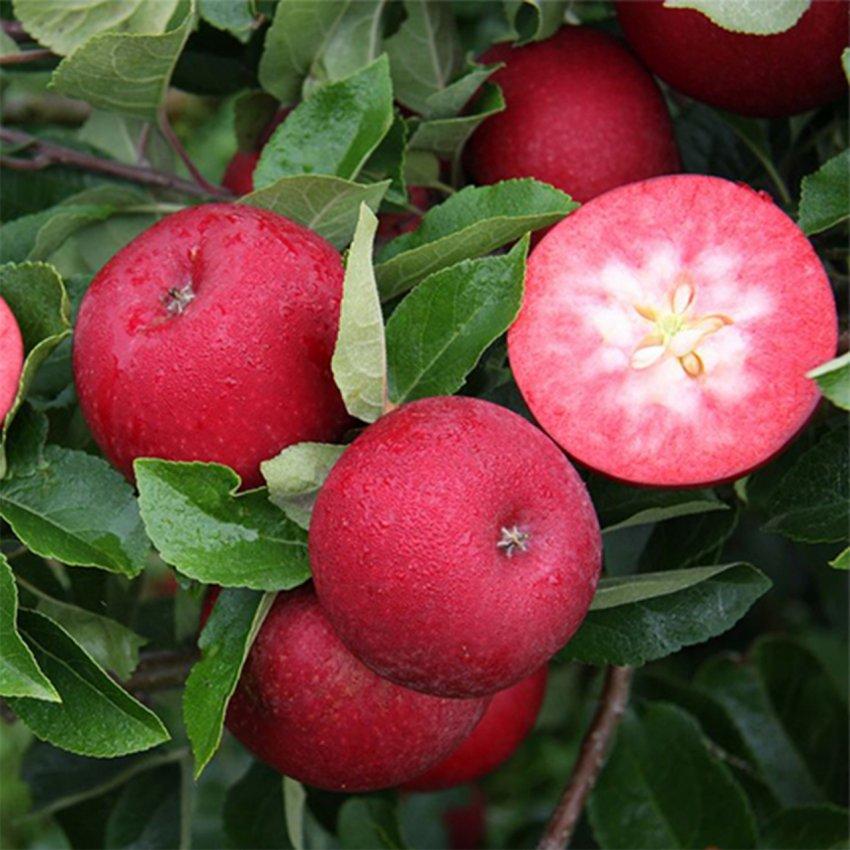 Красномясистая яблоня