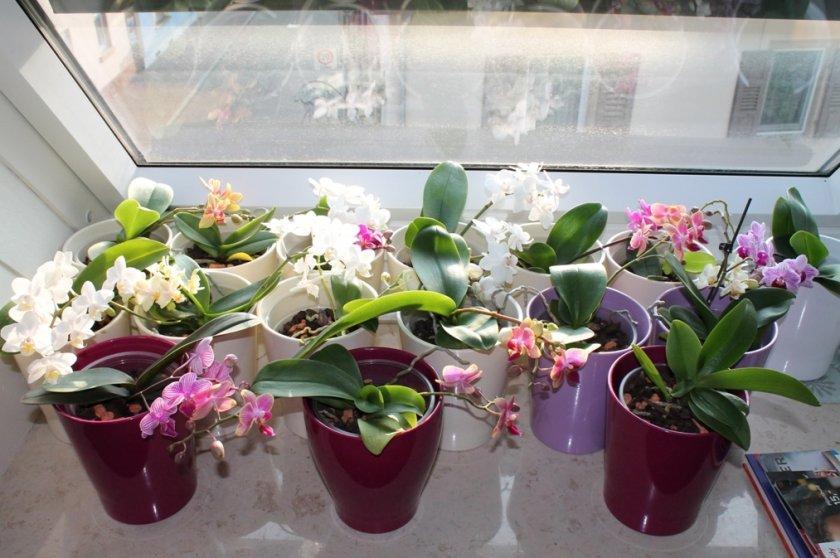 Орхидеи фаленопсис мини