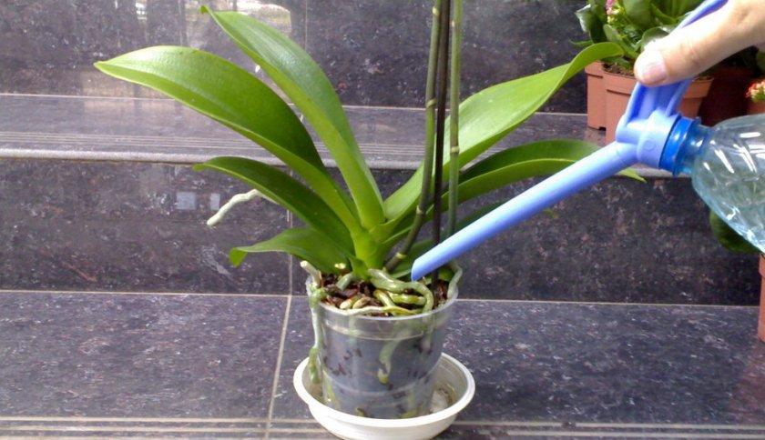 Полив орхидеи фаленопсис мини